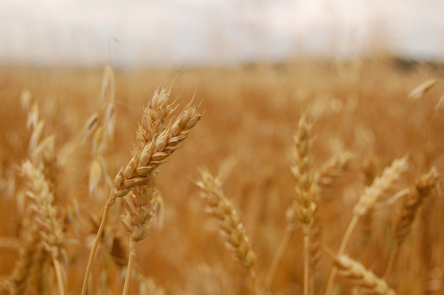 Wheat prices expected to remain pressured this year