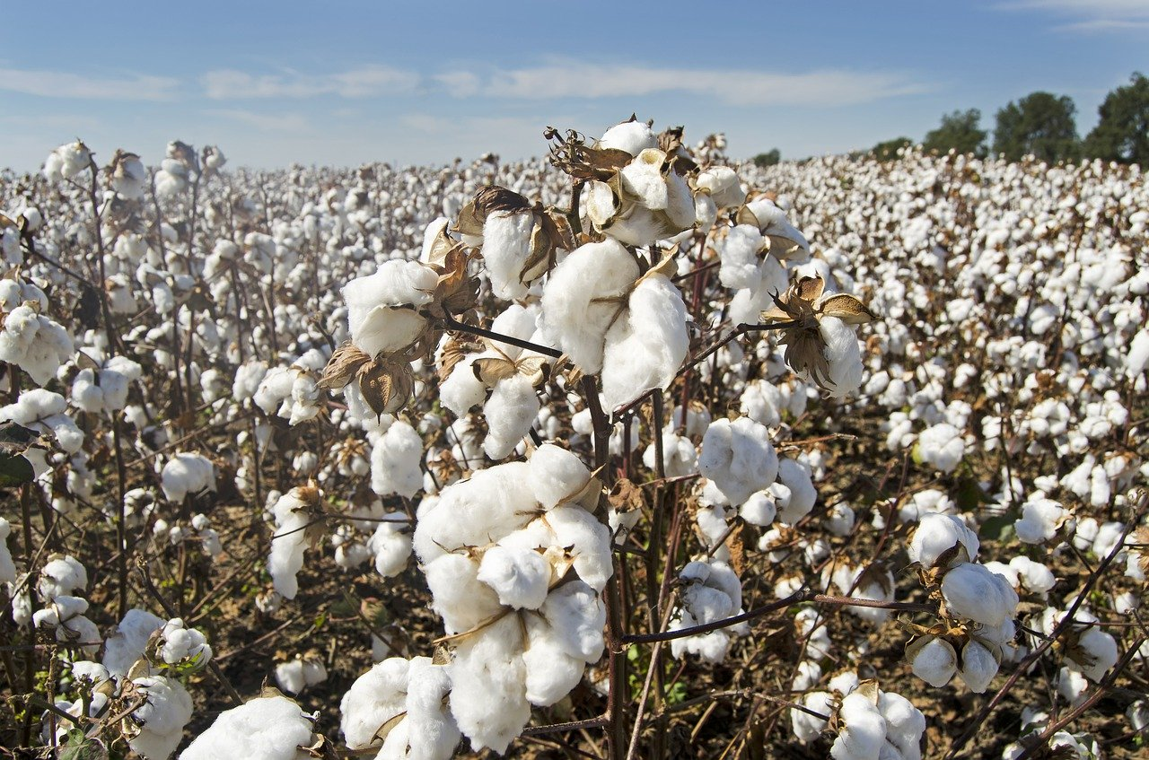 Deciding Whether to Buy Cotton This Month: The Chinese Factors