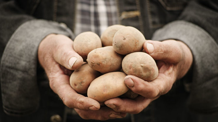 Farmers give away potatoes, dairy cows slaughtered for meat